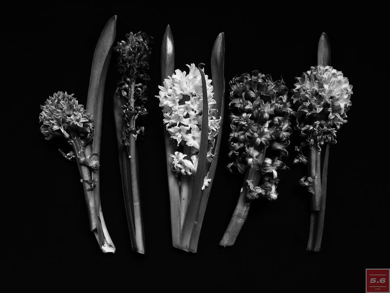 "Науменко Виктория, ""Hyacinthus orientalis"",из серии ""Even Dying Still Beautiful"""