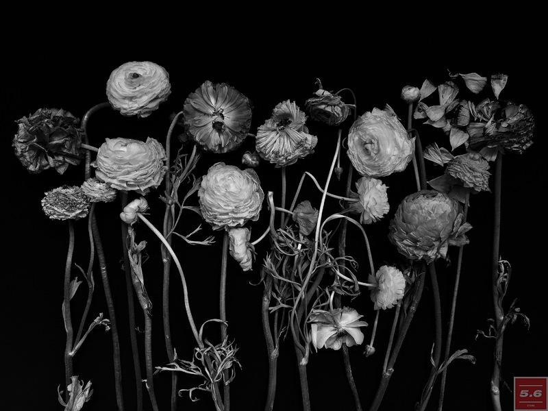 """Науменко Виктория, """"Ranunculus"""", из серии """"Even Dying Still Beautiful"""""""