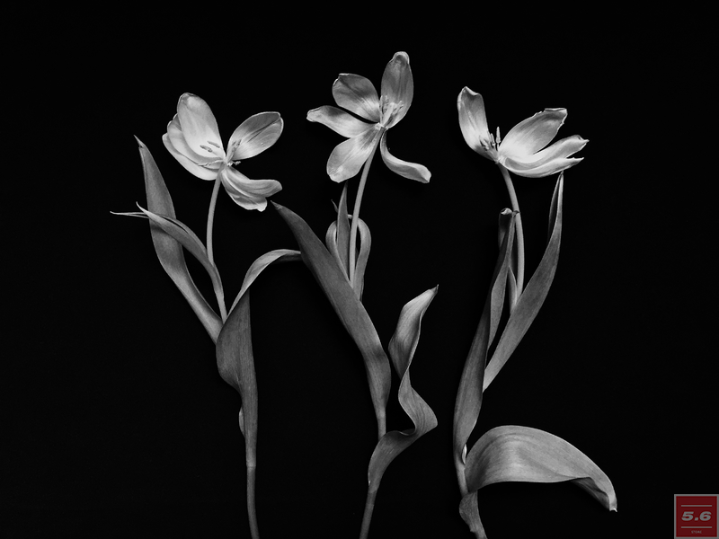 "Науменко Виктория, ""Tulipa I"", из серии ""Even Dying Still Beautiful"""