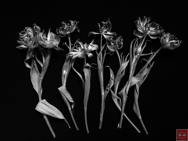 Науменко Виктория, Tulipa III